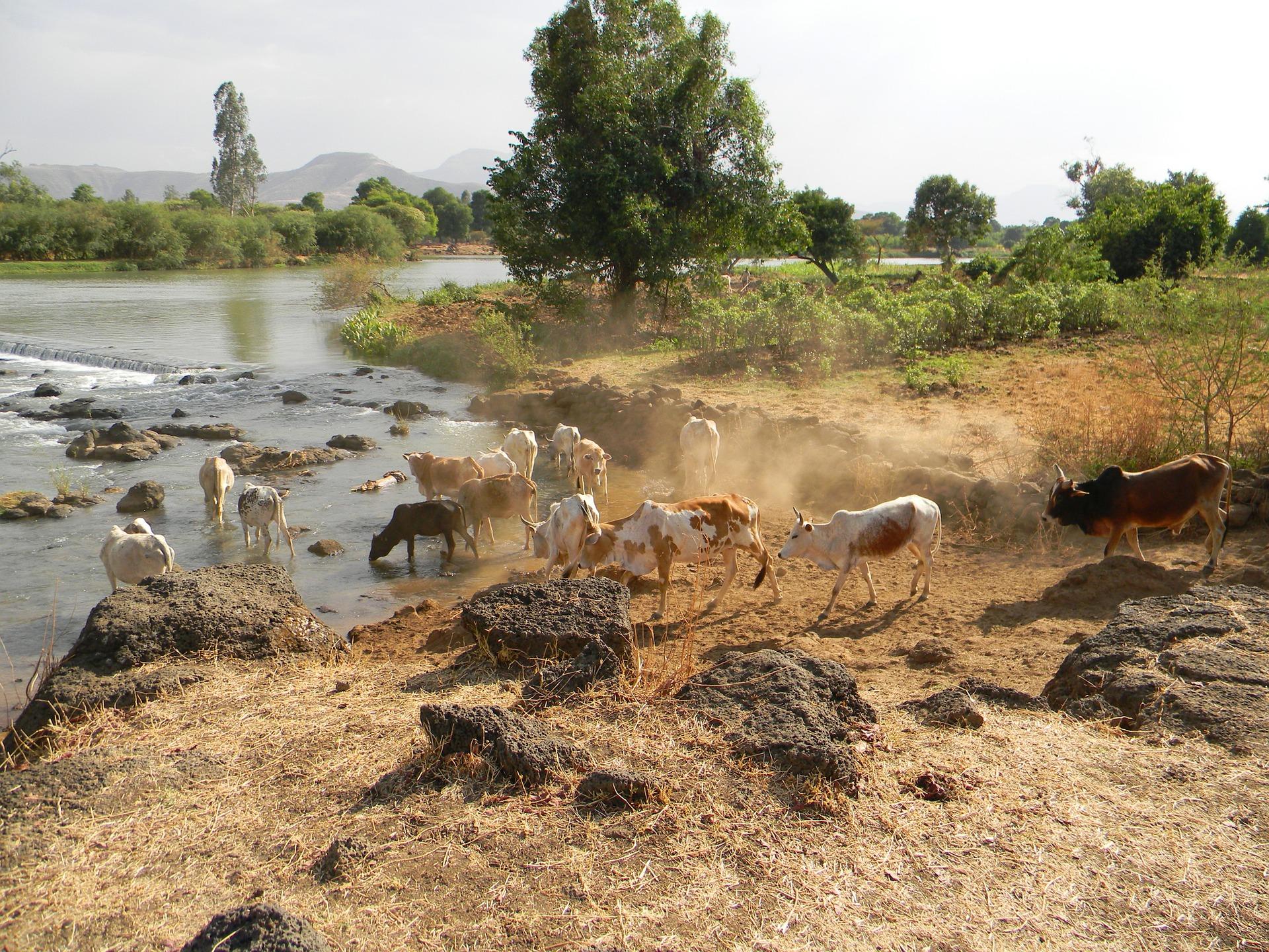 Une deuxième vache maigre est montée du Nil en 2021